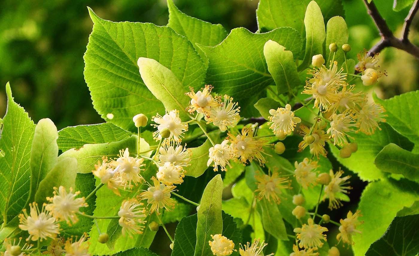lipovy kvet