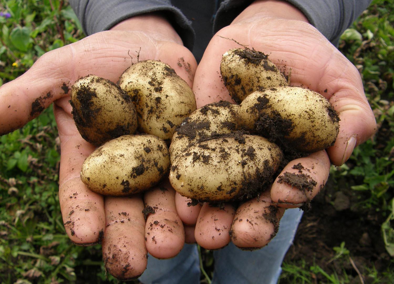 konzumni brambory
